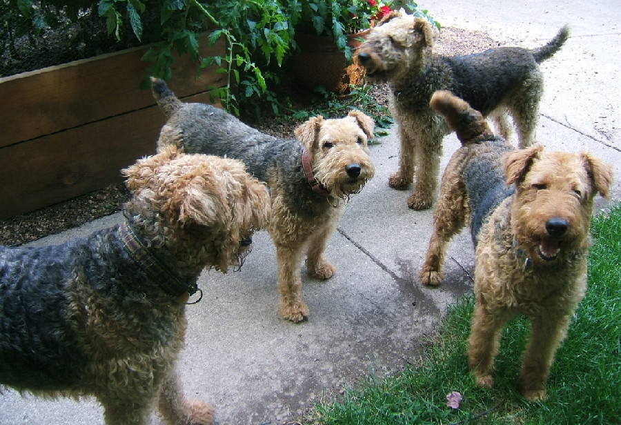 AIREDALES ON PARADE/SPOTLIGHT ON RESCUE - BONNIE & CLYDE IN