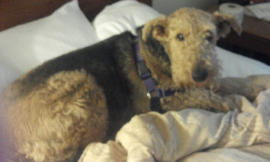 AIREDALES ON PARADE/SPOTLIGHT ON RESCUE - BONNIE & CLYDE ...