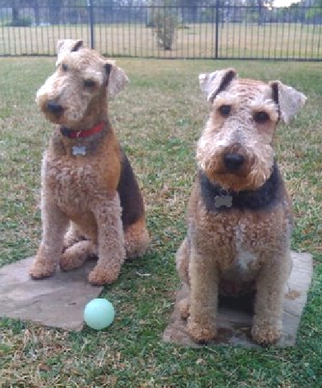 AIREDALES ON PARADE/SPOTLIGHT ON RESCUE - HARLEY IN ...