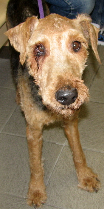 AIREDALES ON PARADE/SPOTLIGHT ON RESCUE - LEO IN COLORADO ...