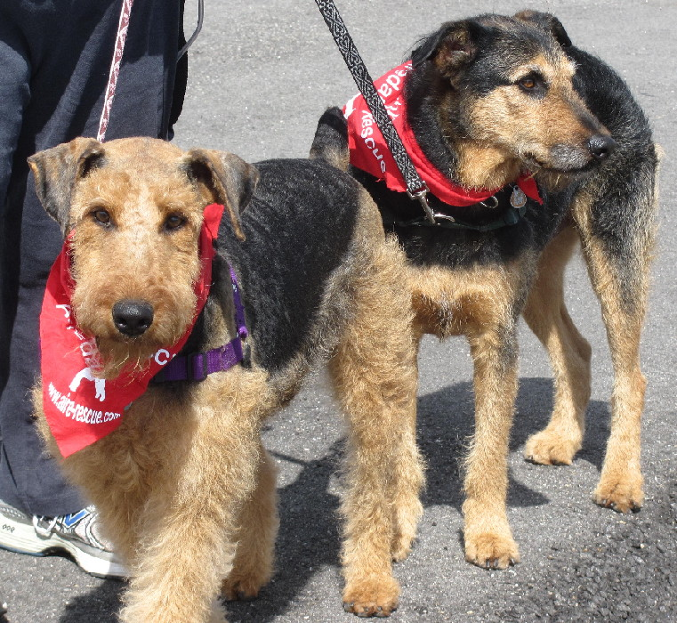 AIREDALES ON PARADE/SPOTLIGHT ON RESCUE - MOLLY IN MICHIGAN