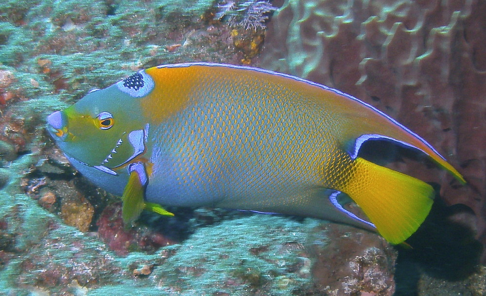 Queen Triggerfish Teeth ST KITTS & NEVIS 4...